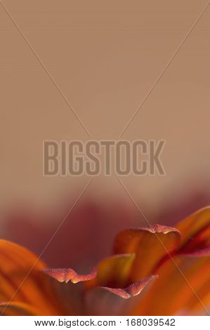 Red Gerbera flower petals border with negative space