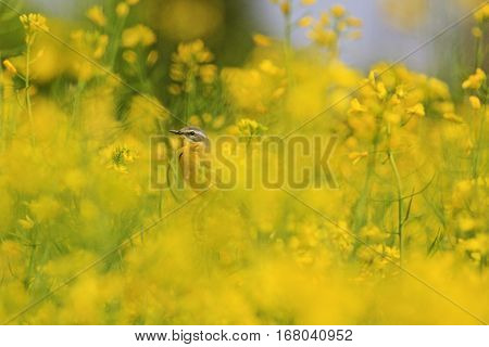 yellow bird of yellow flowers, canola, field Agriculture, western yellow wagtail , Motacilla flava