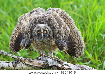 scary long-eared owl , Asio otus wings open, owl, wise bird, a symbol of Witchcraft