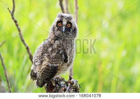 little owlet sitting on a branch among green grass, owl, wise bird, a symbol of Witchcraft, long-eared owl , Asio otus