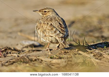 crest lark at sunset is among dry grass, Galerida cristata, wildlife, bird tufted, inconspicuous bird