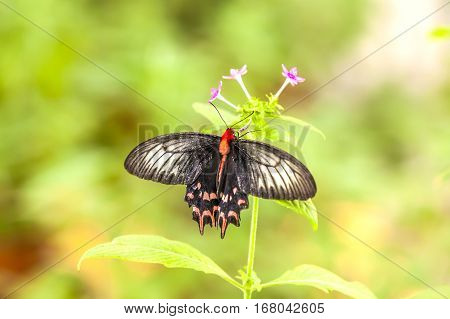 Tropical black butterfly on green natural background
