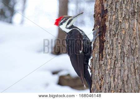 Woodpecker in the snow in Montreal, Quebec