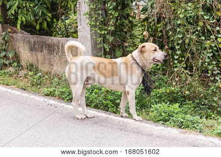 Thai stray dog on road , pet