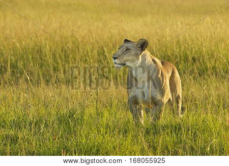 Lioness out hunting in the Masai Mara Kenya
