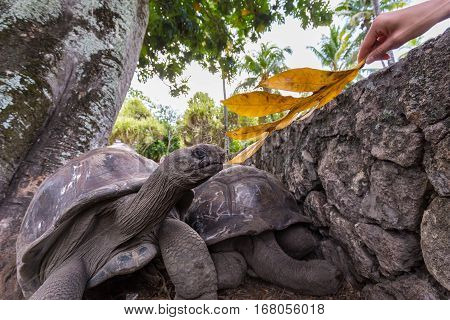Female tourist feeding and admiring big old Aldabra giant tortoises, Aldabrachelys gigantea, in National Park on La Digue island, Seychelles.
