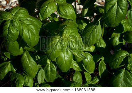 Looking down on a large green sweet basil plant with shiny leaves.
