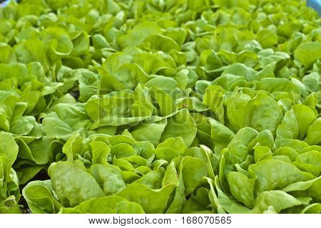 Butterhead Lettuce salad plant green organic vegetable leaves