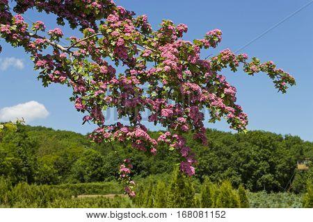 Flowering hawthorn against the blue sky,Perkalsky Dendrological nursery (foot of Mashuk),Caucasus,Russia.