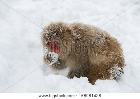 winter Japanese snow monkey eating food in snow