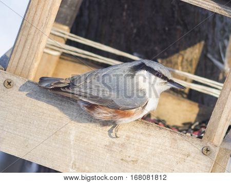 Eurasian or wood nuthatch Sitta europaea close-up portrait at bird feeder selective focus shallow DOF