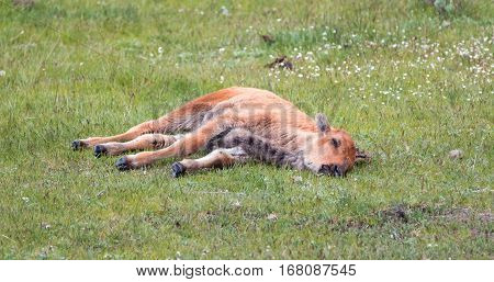 Baby Bison Buffalo Calf Sleeping In The Grass In The Lamar Valley In Yellowstone National Park In Wy
