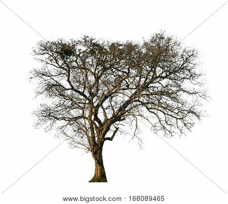 Isolated Dry Tree On White Background With Clipping Path.