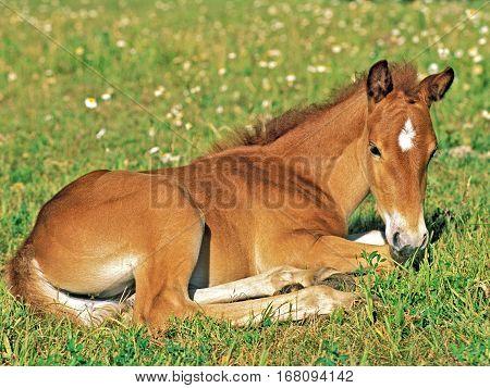 Cute Quarter horse Foal resting in meadow of flowers