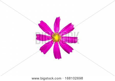 Cosmos flower in field, beauty in cosmos