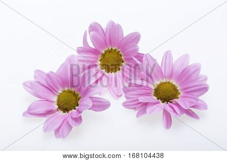 young pink chrysanthemum flower isolated on white