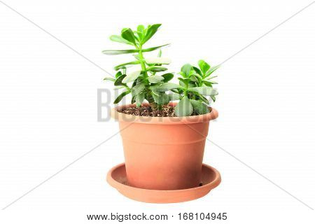 Small Green Crassula (money Tree) In Orange Pot