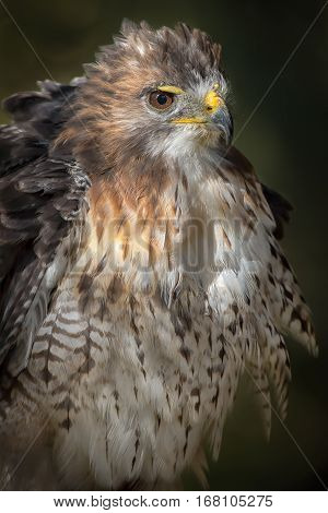Close up portrait of a red tailed hawk fluffing its feathers in an upright vertical format