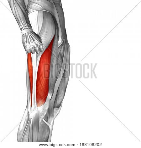 Concept or conceptual 3D illustration human upper leg anatomy or anatomical and muscle isolated on white background metaphor to body, tendon, fit, foot, strong, biological, gym, fitness health medical