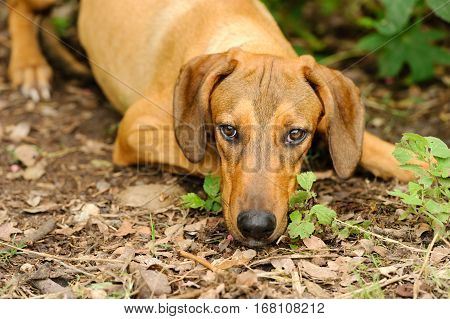 Sad dog shy face closeup is a beautiful shelter hound dog looking up with an intense stare outdoors in nature