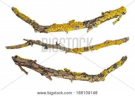 macro dry tree branches isolated on white background