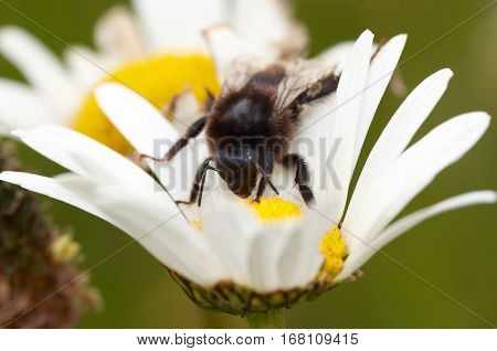 Detail of the honeybee on the flower - pollination
