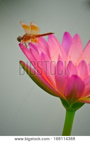 Pink lotus blossoms in the pond with dragonfly