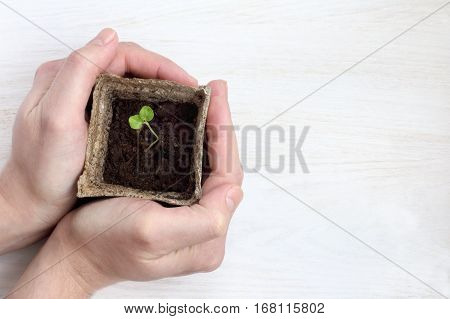 Horticulturist holds pot with young seedling top view / care increases yields