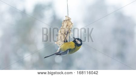 Tit Bird On Bird Feeder