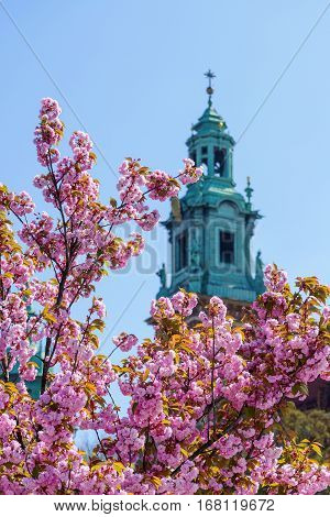Pink Sakura cherry blossoms and Tower of the Cathedral of Wawel in Krakow Poland.