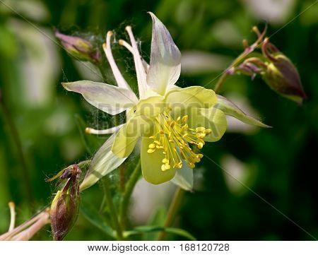 White flower Aquilegia in the summer garden