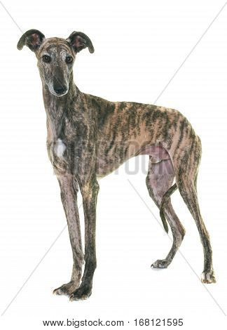 galgo espanol in front of white background