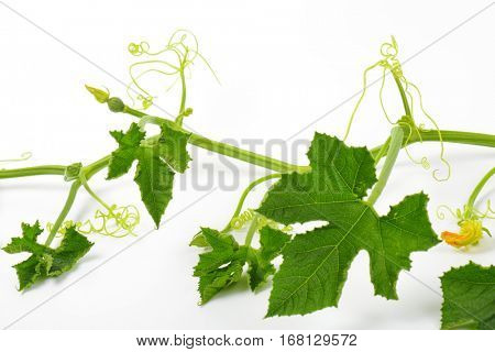 stem of the zucchini plant with leaves and tendrils