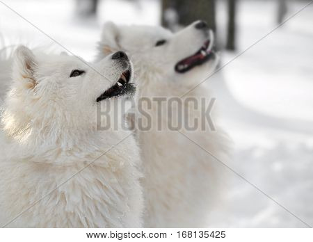 Cute samoyed dogs in park on winter day