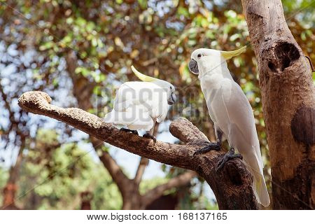 Two White Parrot Bird Mating on Wood, Cockatoo