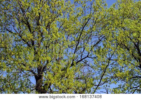 Crone Of A Tree With Leaves Early