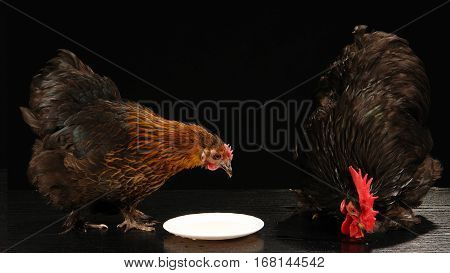 hen and black rooster isolated on a black background