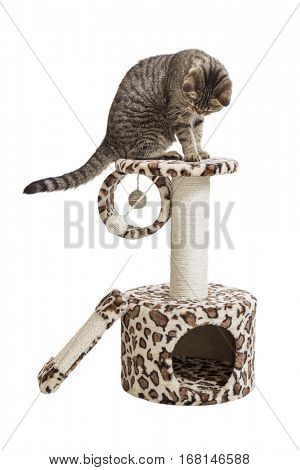 European cat sitting on a cat's house. Isolate on white background.
