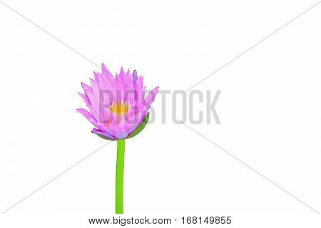 lotus flower or lilly pink beautiful with clipping path isolated on white background and clipping path