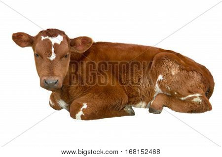 little bull-calf isolated on a white background