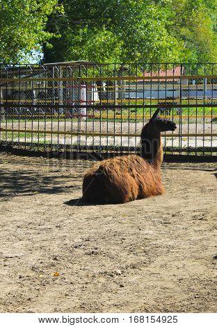 Llama in a paddock