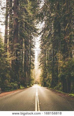 Foggy Forest Road Trip Vertical Photo. California Redwood Forest United States of America.