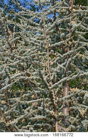 Atlas cedar (Cedrus atlantica). Another scientific name is Cedrus libani atlantica. Tree with pollen cones