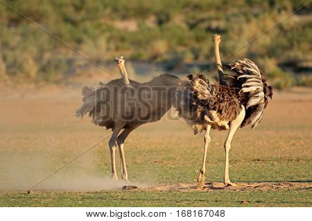 Two ostriches (Struthio camelus) displaying with open wings, Kalahari desert, South Africa