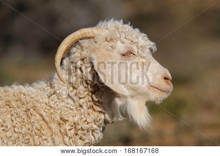 Portrait of an angora goat on a rural farm