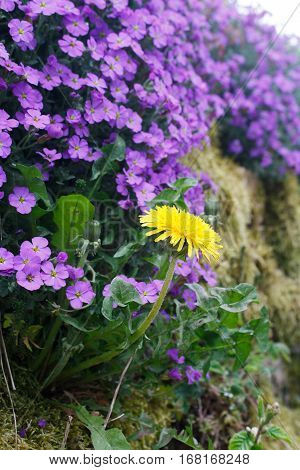 Blooming dandelion on the beautiful violet primula background
