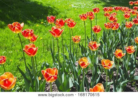 Garden Bed With Red Tulips