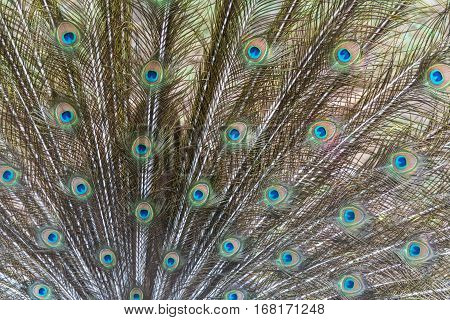 Close up of Indian peafowl or blue peafowl tail.