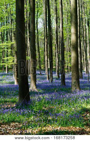 The bluebells flowers during springtime in Hallerbos Halle Belgium