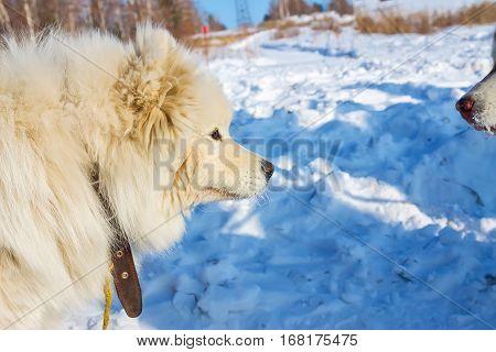 White Fluffy Samoyed On A Leash. Close-up Portrait